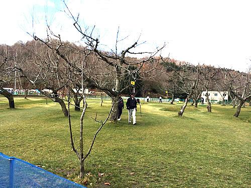 札幌パークゴルフ石山のさくらんぼの木